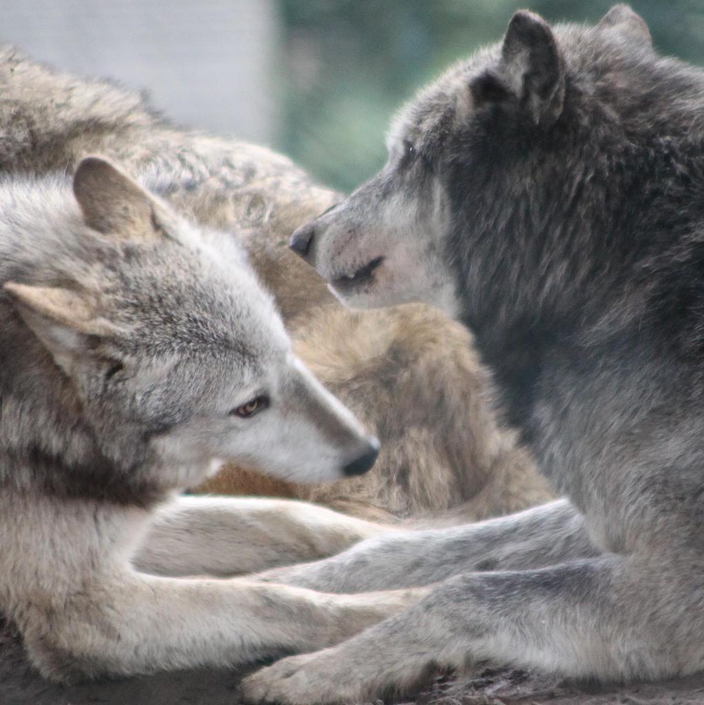 wolf-82