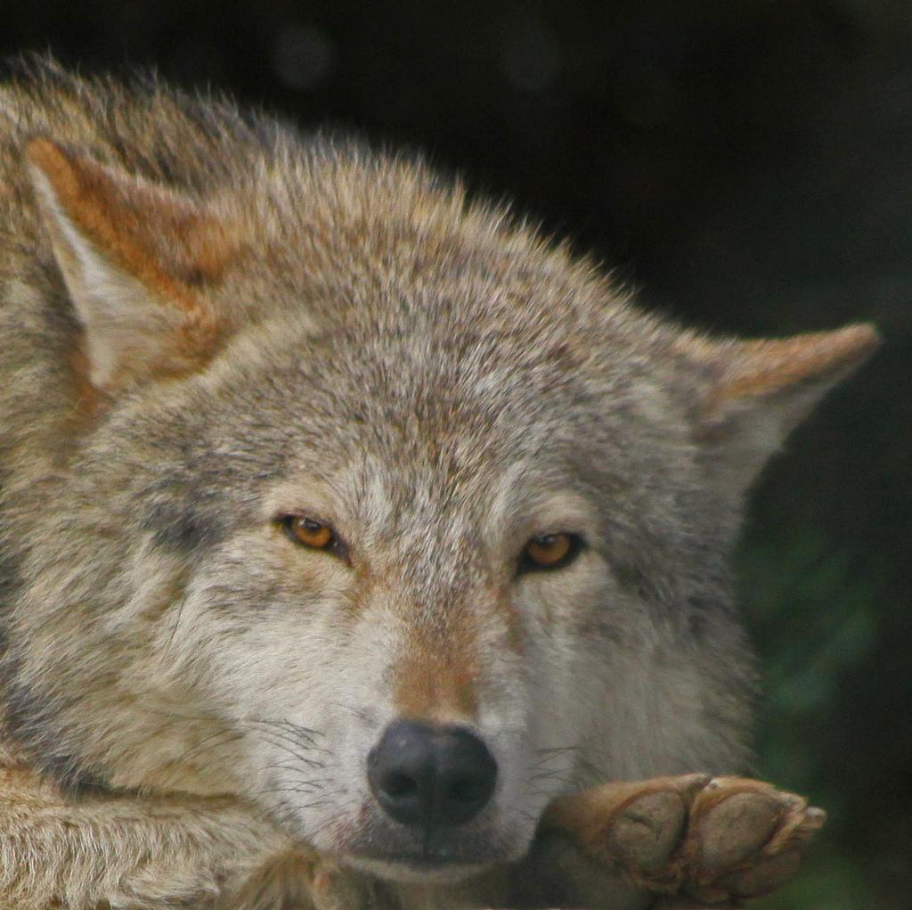wolf-83
