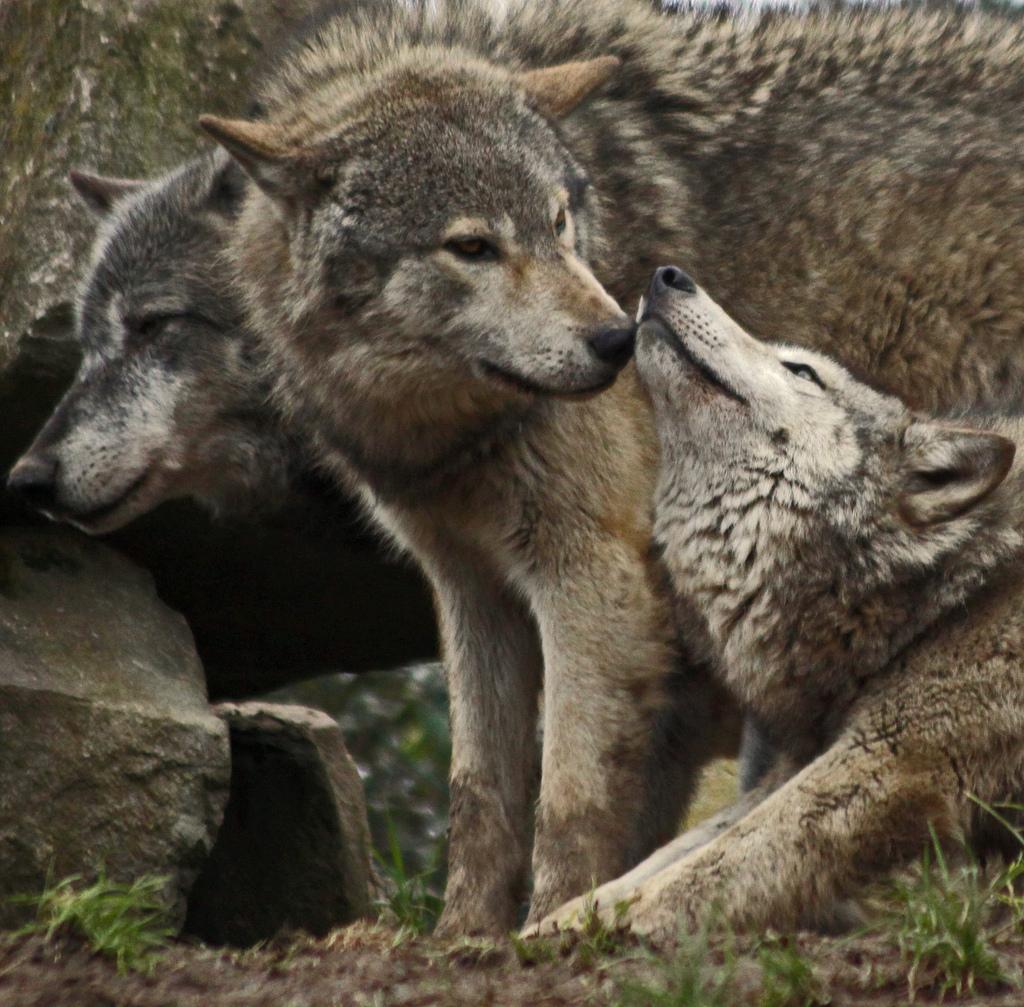 wolf-84