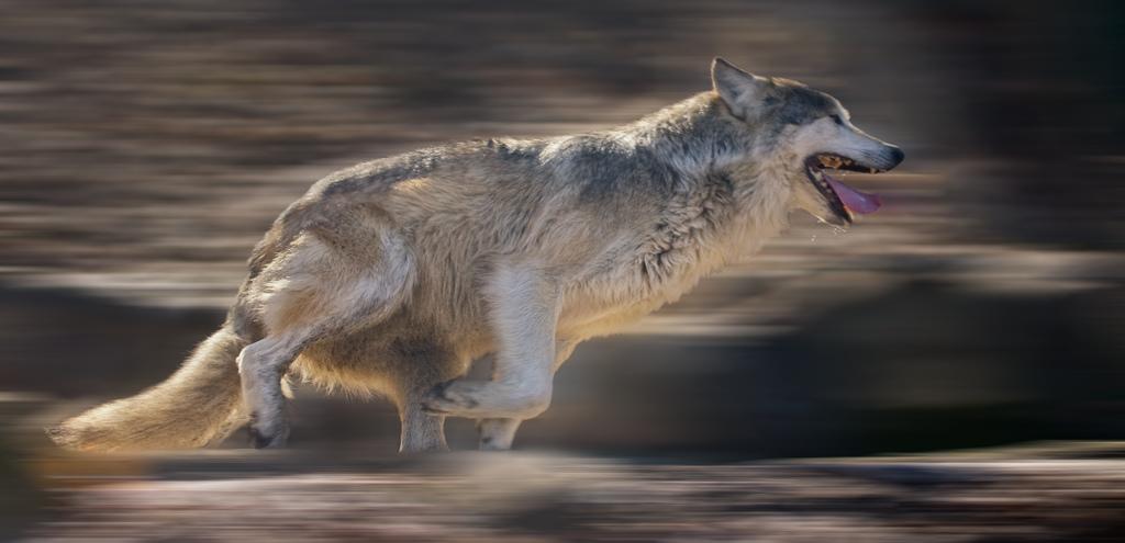 wolf-85