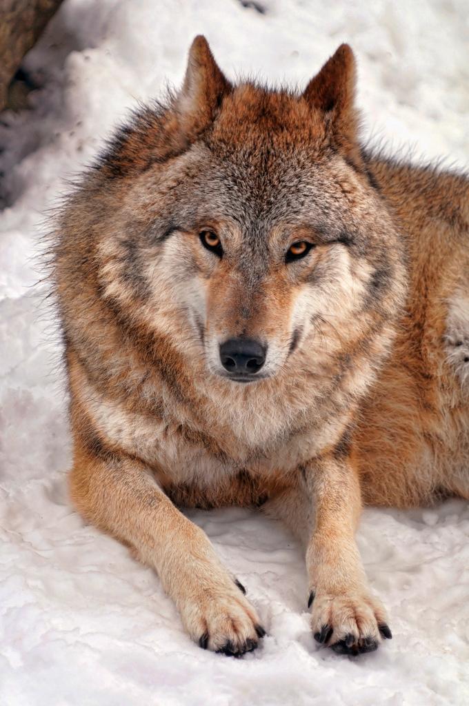 wolf-86