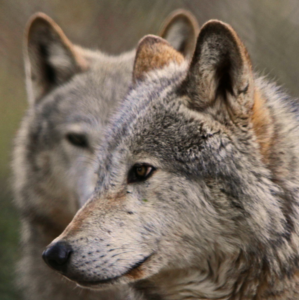 wolf-89