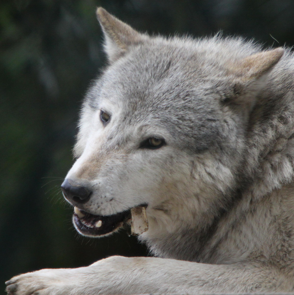 wolf-90