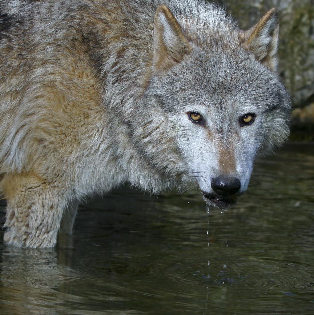 wolf-91