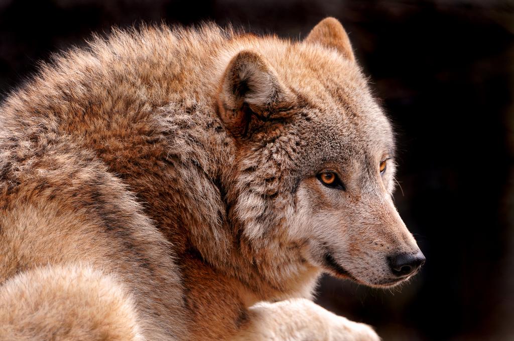 wolf-92