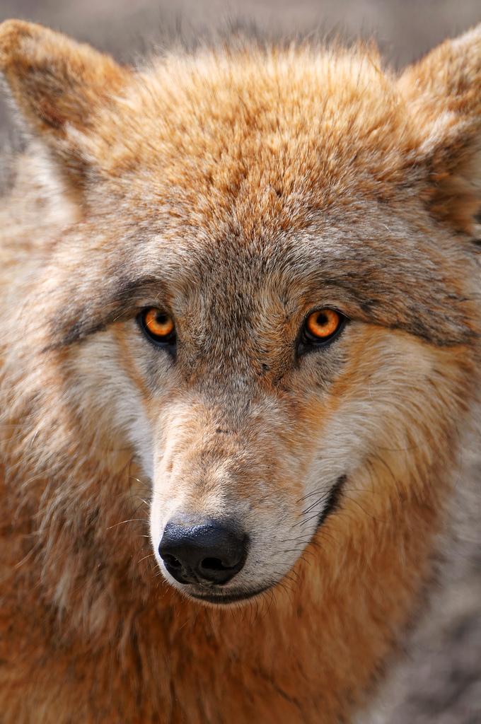 wolf-93