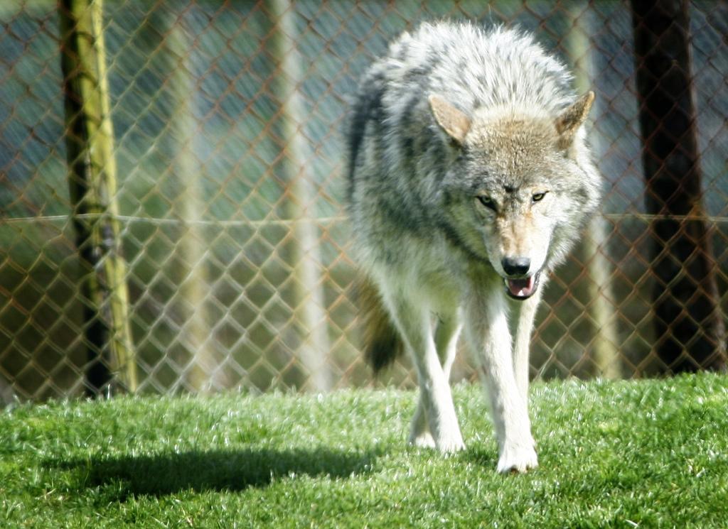 wolf-94