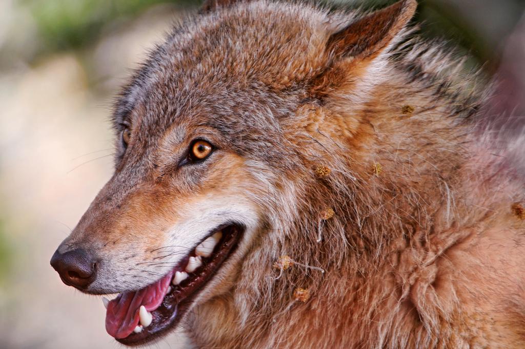 wolf-96