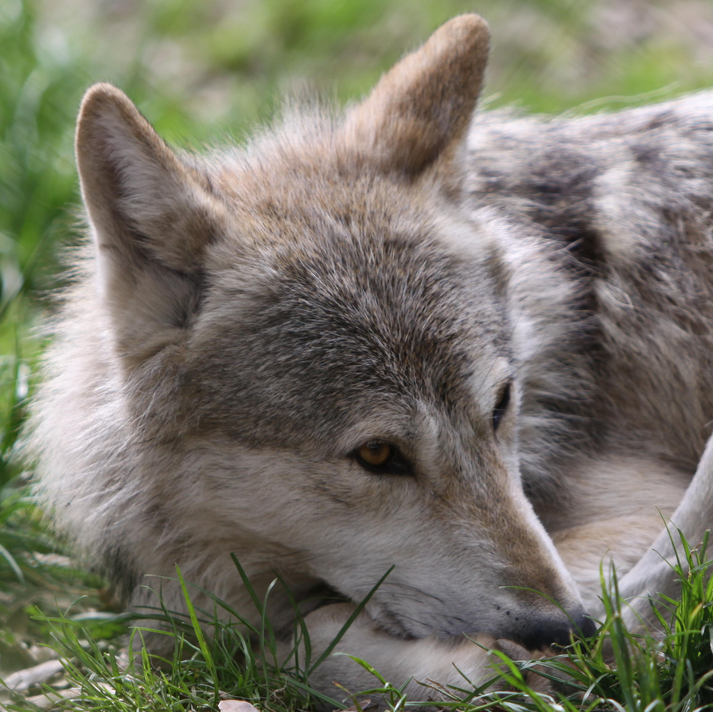 wolf-99