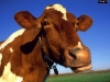 Tori, vacche e vitellini