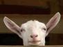 Montoni, pecore e agnellini
