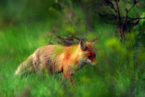 fox-10