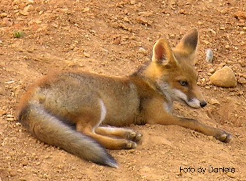 fox-103