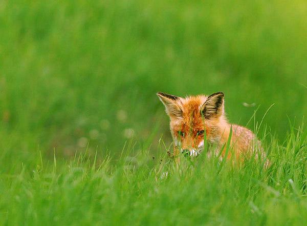 fox-13