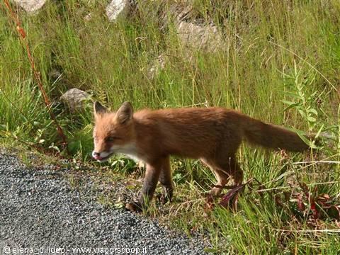 fox-18