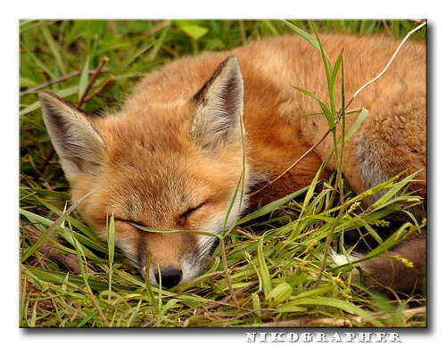 fox-20