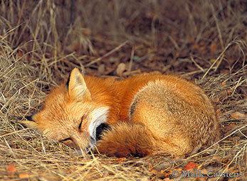 fox-21