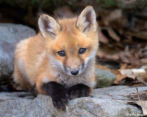 fox-29
