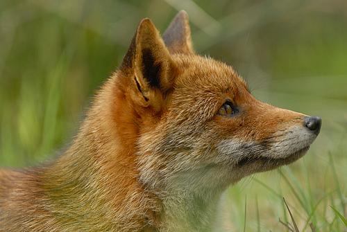 fox-31