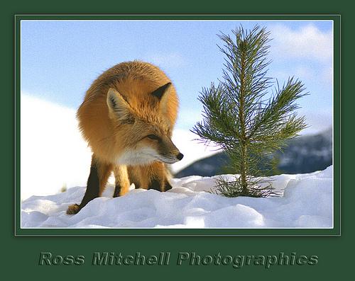 fox-33