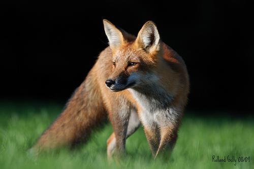fox-34