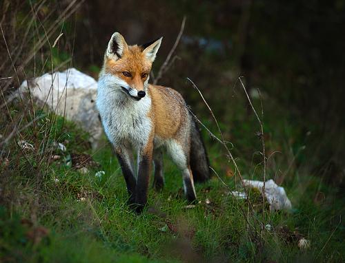 fox-35