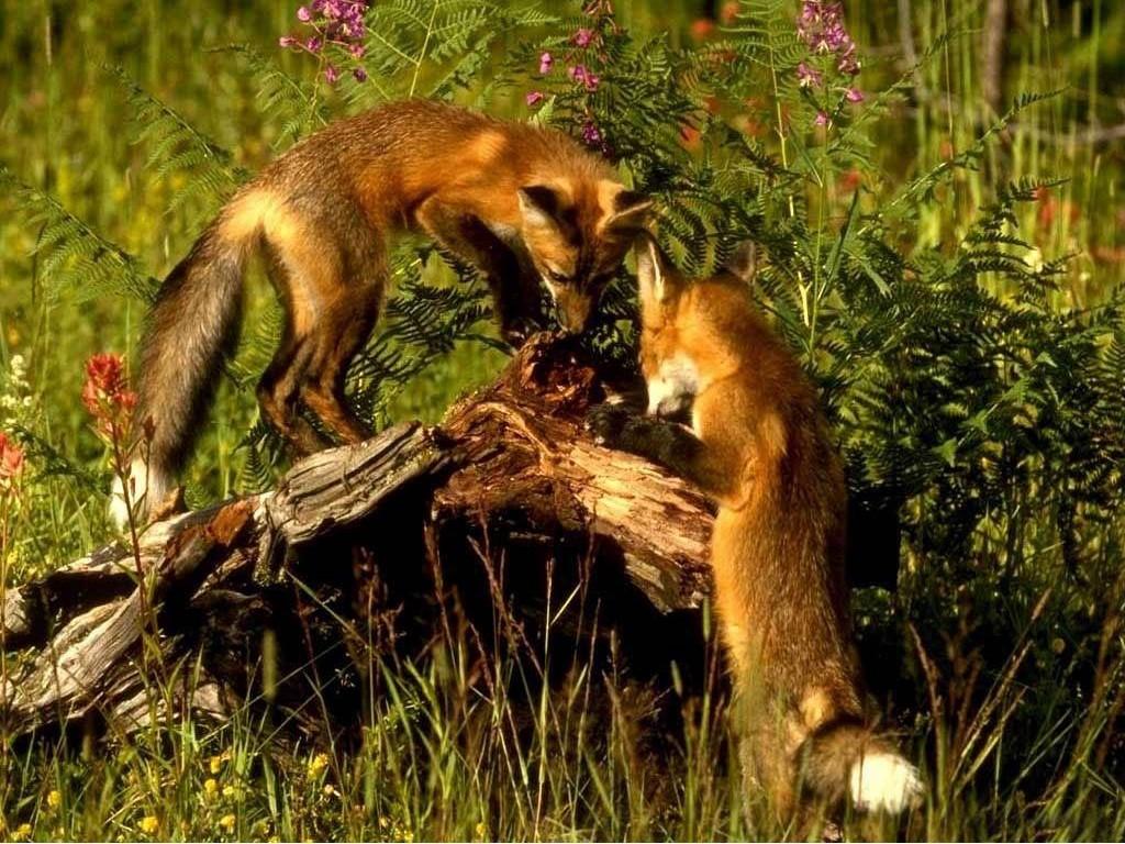 fox-38