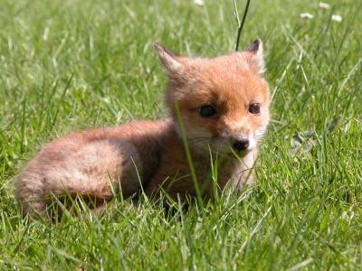 fox-39