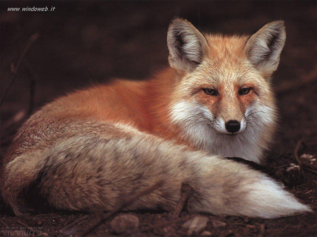 fox-41