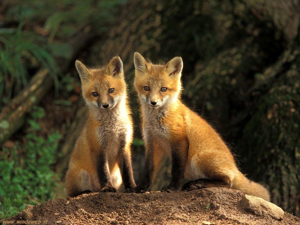fox-43