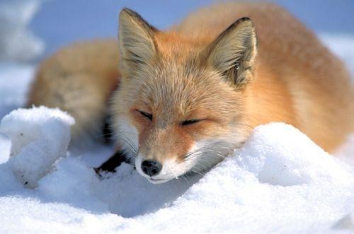 fox-45