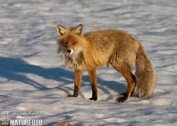 fox-48