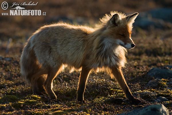 fox-50