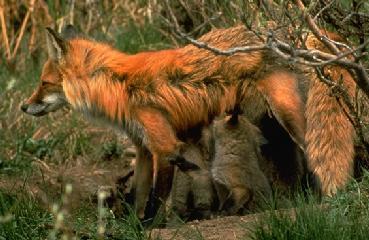 fox-52