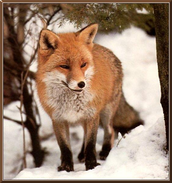 fox-59