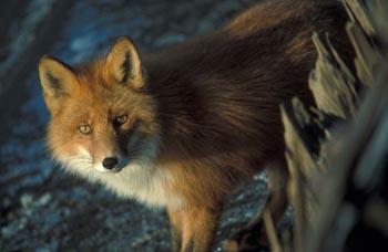 fox-61