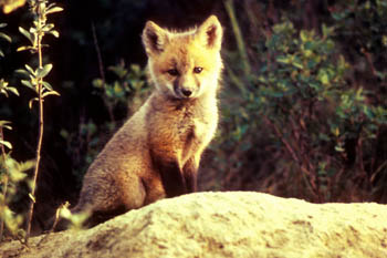 fox-63