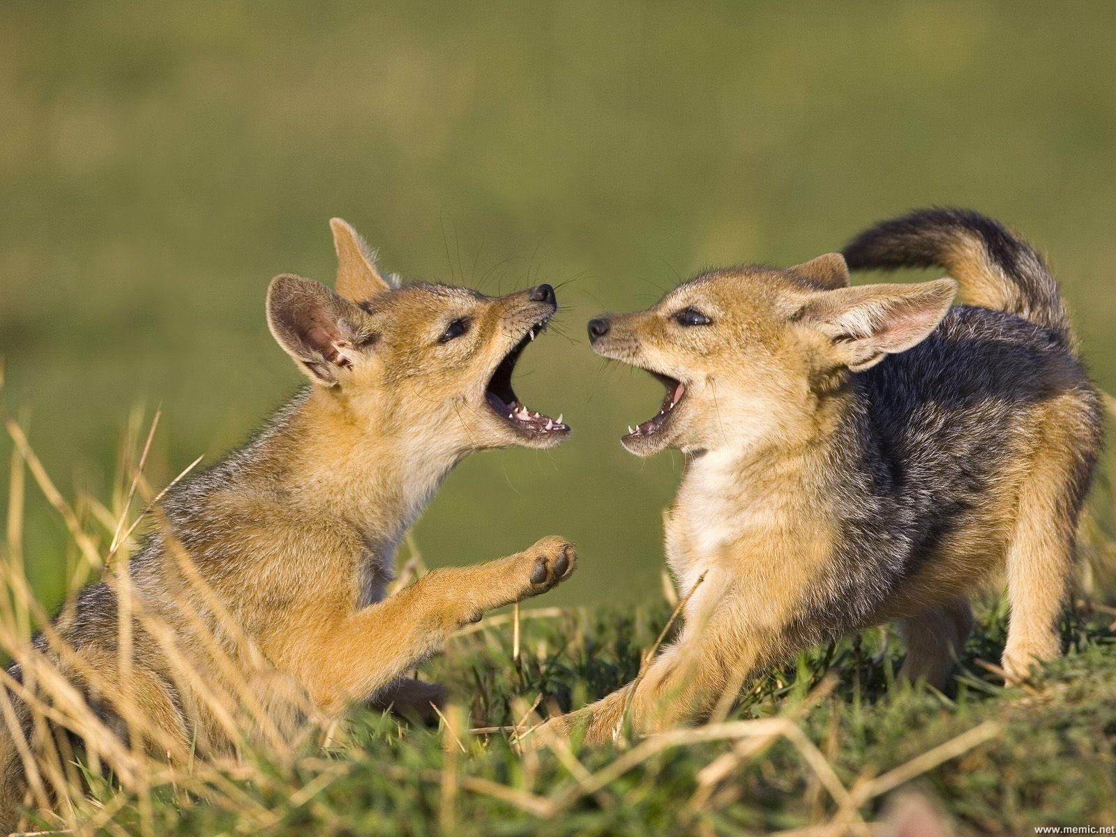 fox-67