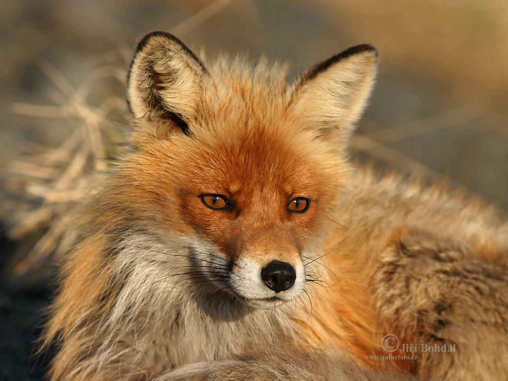 fox-71