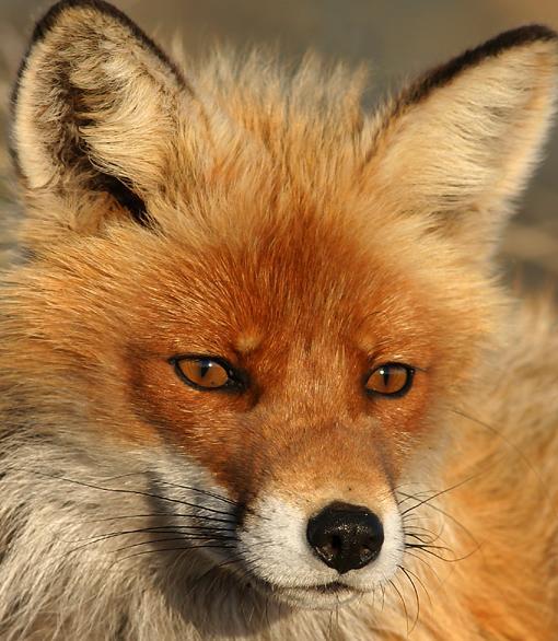 fox-72