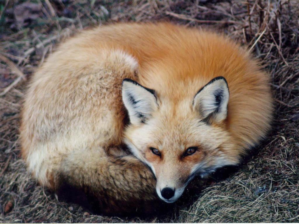 fox-75