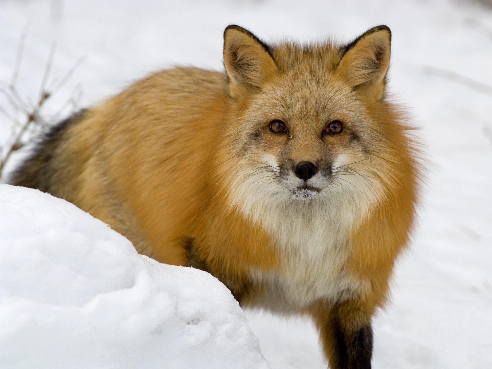 fox-77