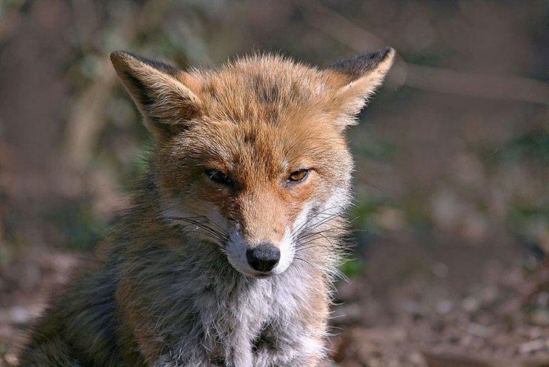 fox-78