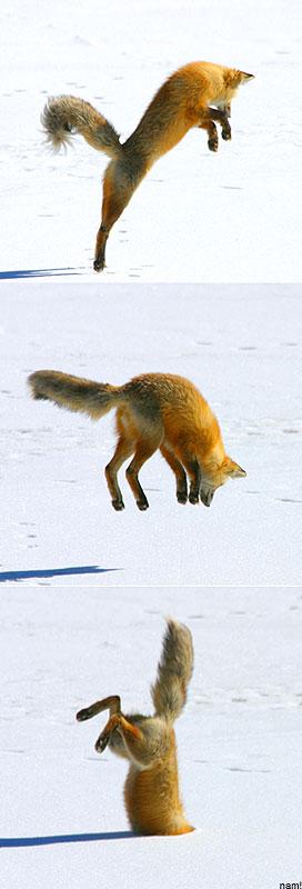 fox-79