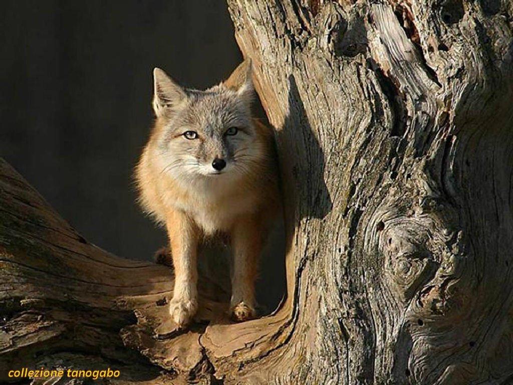 fox-80