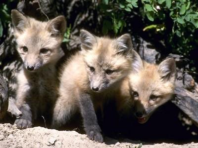 fox-81