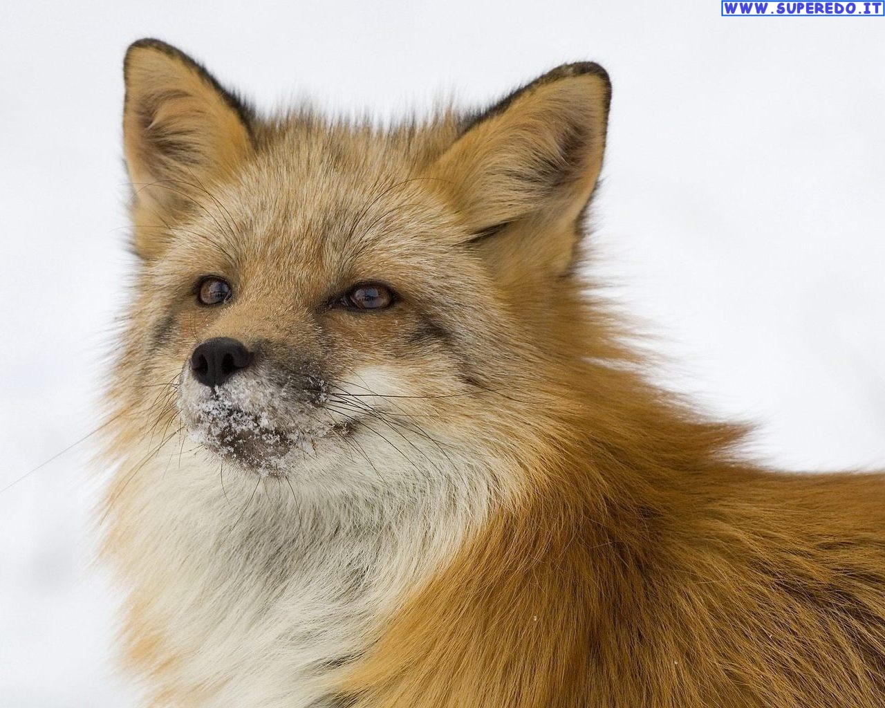 fox-82