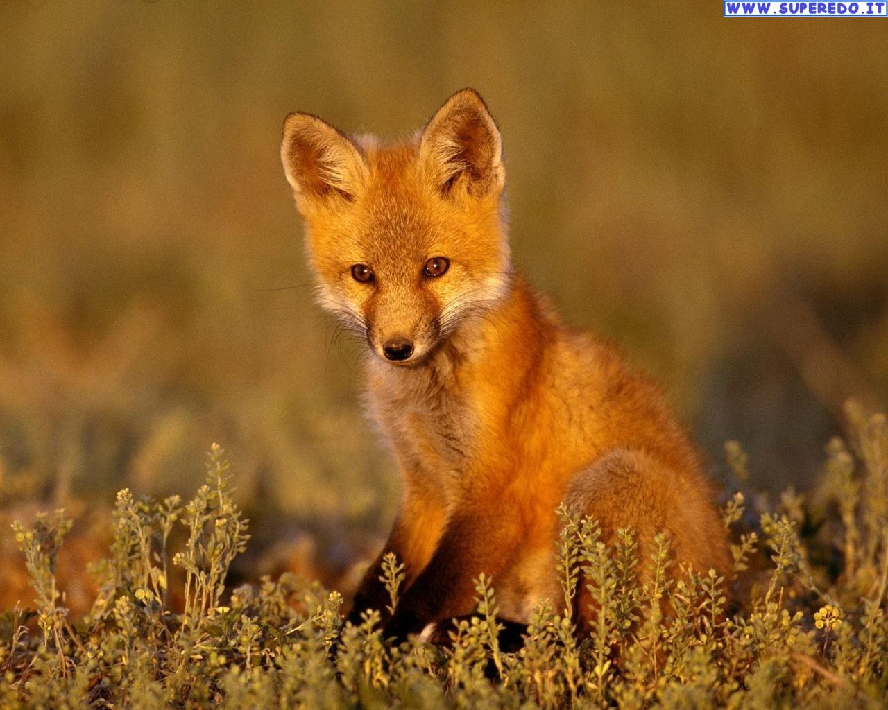 fox-83