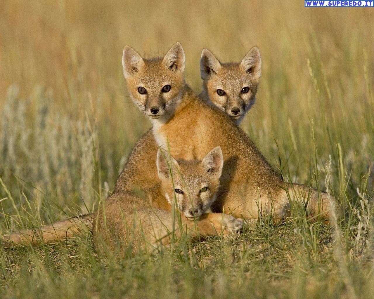 fox-84