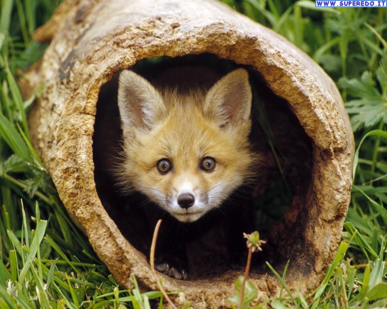 fox-85